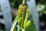 Common Darter Female