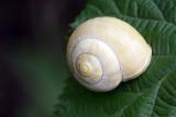 Snail Cepaea sp