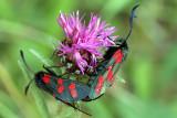 6 Spot Burnet Mating