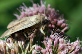 Lesser Yellow Underwing Moth