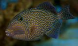 ? Triggerfish