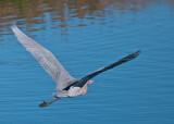 Redish Egret in flight