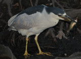 Black Crowned Night Heron with catch
