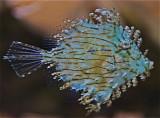 Tasseled Filefish