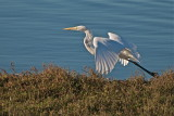 Great White Egret take off