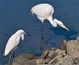 Snowy Egret and Great White Egret