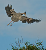 Great Blue Heron flying to nest