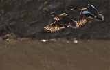 Wigeons in flight, wings backlighted