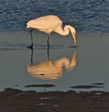 Great Egret searching for the last few morsels of the day