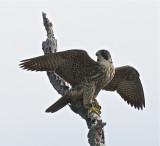 Paragrine Falcon