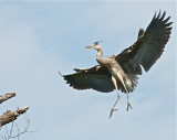 Great Blue Heron at Bolsa Chica, making the nest