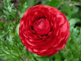 Young Ranunculus