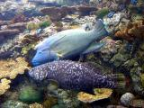 Grouper and Napolean Hump Head Wrasse