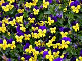 Tiny Pansies