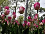 Single Late Tulip Dreamland