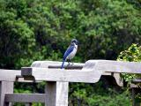 Scrub Jay in the gardens