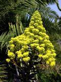 Flowering succulant
