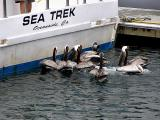 Pelicans looking for dinner at Oceanside Marina