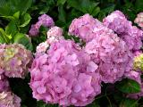 Hydrangeas, Rose Gardens