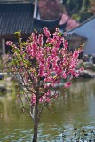 Flowing Plum tree