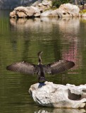 Cormorant drying wings
