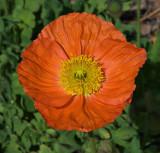 Islandic Poppy