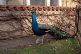 Peacocks in Prague 04