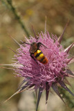 Large Bee on Thistle 03