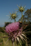 Large Bee on Thistle 06