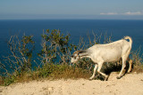Mountain Goat at Akamas Peninsular 06
