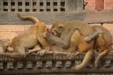 Monkeys Grooming Pashupatinath 02