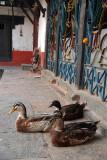 Ducks in a Temple Kathmandu