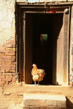 Chicken in a Doorway Bhaktapur