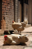 Chickens in the Sun Bhaktapur