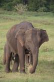 Elephant at Kaudulla