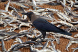 Indian House Crow on Drying Fish
