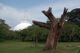 Tree and Dagoba Anuradhapura