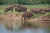 Elephants at the Water Kaudulla 02