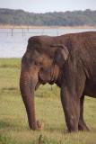 Old Bull Elephant Kaudulla
