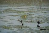 Cormorant Drying Wings Sigriya