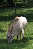 Long Horned Cow Kandy Botanical Gardens