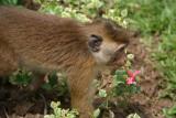 Monkey Eating Flowers Kandy Botanical Gardens
