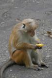 Monkey Eating Mango Kandy Botanical Gardens