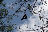 Fruit Bat in Tree Kandy Botanical Gardens