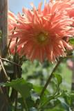 Pink Bloom Kandy Botanical Gardens
