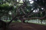 Inside a Fig Tree Kandy Botanical Gardens