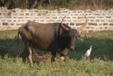 Grazing Cow and Egret Bidar