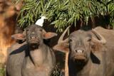 Water Buffalo in Bidar