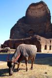 Buffalo Grazing by Bahmani Tombs at Ashtur