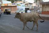 Bull in the Road Bijapur